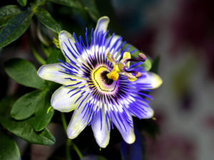 passionflower-smoking